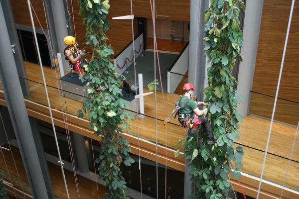 élagueurs utilisant techniques de cordistes pour l'entretien d'un mur végétalisé