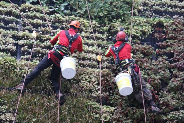 entretien de mur végétalisé / travaux sur corde
