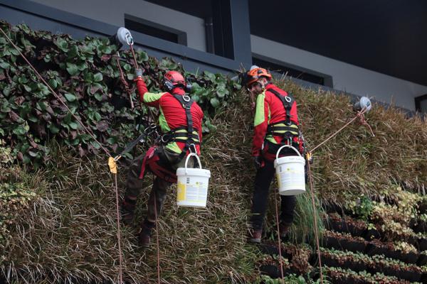 2 cordistes - élagueurs démarrant le nettoyage du mur végétalisé