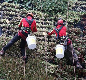 enlèvement des adventices sur mur végétalisé