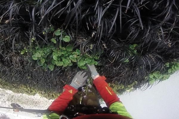 nettoyage minutieux des plantes exotiques sur un mur végétalisé